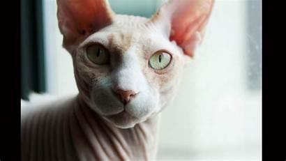 Sphynx Cat Cats