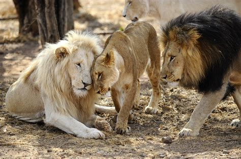 africas lions  face  potential threat cbs news