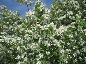 Flowering Shrubs White Flowers Identification