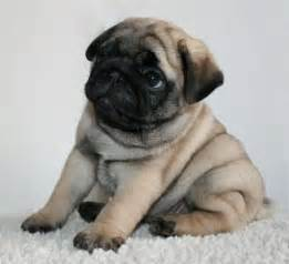 LOL Cute Pug Rolly Polly Puppy