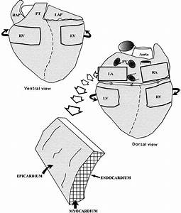 Schematic Diagrams Showing Ventral And Dorsal Aspects Of