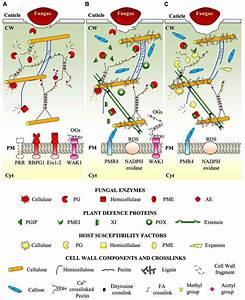 Frontiers | Plant cell wall dynamics and wall-related ...