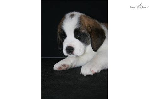smooth coat saint bernard puppy dog breeds picture