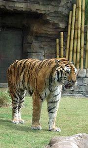 Tiger | Jungala, Busch Gardens Tampa | meeko_ | Flickr