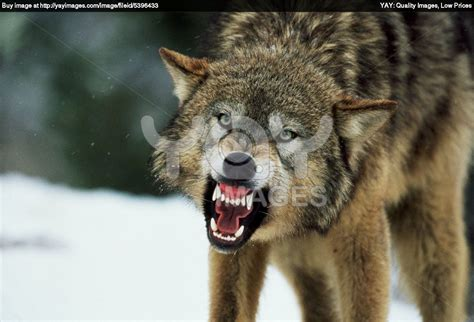 Real Scary Wolf Wallpaper by Grey Wolf Snarling Royalty Free Image Of Snarling Gray