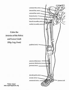 Arteries Of The Lower Limb Coloring Page