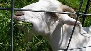 Goat Eat Grass Mov