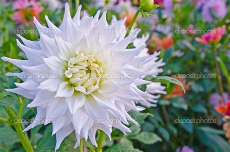 Flor Dália Branca: Significado   Flores - Cultura Mix