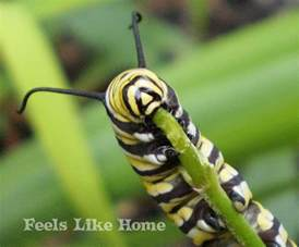 thanksgiving flowers monarch caterpillars feels like home