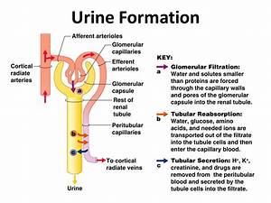 Physiology Of Urine Formation