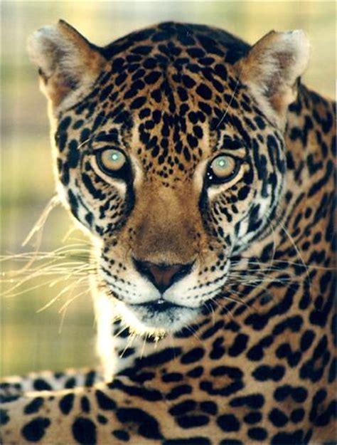 pictures jaguar cat the jaguar great cats of the quot world quot