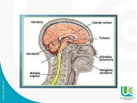 la snc anatomia snc