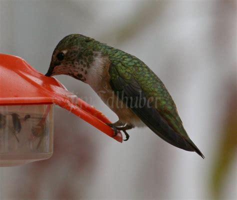 rufous hummingbird at ft atkinson wisconsin on october 15