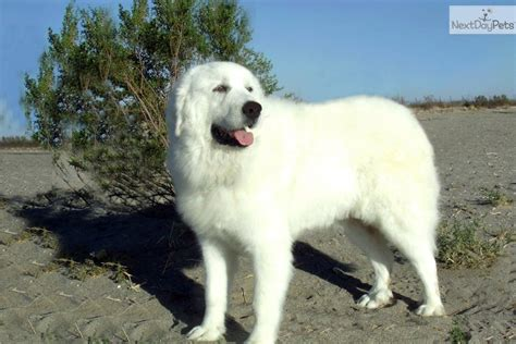 great pyrenees shedding information great pyrenees puppy for sale near los angeles california