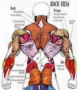 Human Body Muscle Anatomy Lower Back View Muscle Pain ...