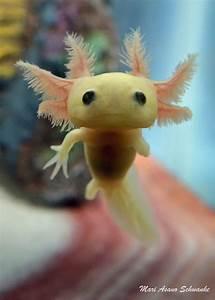 Cute Axolotl Mexican Salamander http://ift.tt/2dKsqwo ...