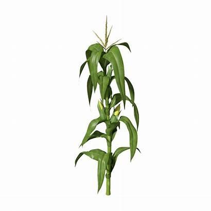 Plant Corn Transparent Stem Clipart Maize Plants