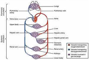 20 1 Structure And Function Of Blood Vessels  U2013 Anatomy And