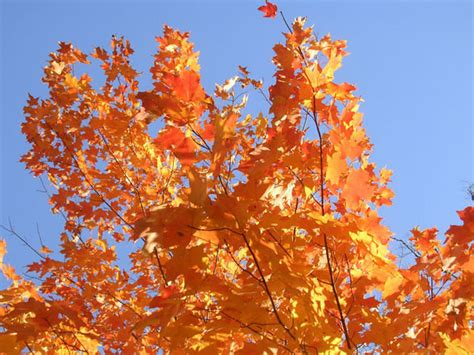 best maple trees for fall color maple tree fall colors photo