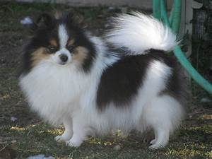The gallery for --> Parti Merle Pomeranian
