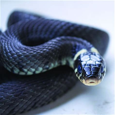 black snakes catseye pest control