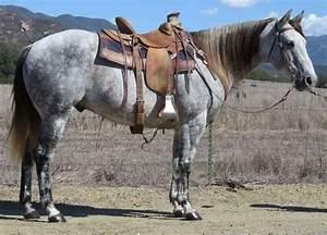 13 YEAR OLD 15.2 HAND GRAY GELDING | HorseClicks