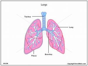 Lung Drawing At Getdrawings