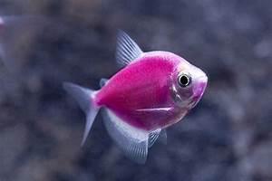 pink glofish galactic | Fishes | Pinterest | Pink