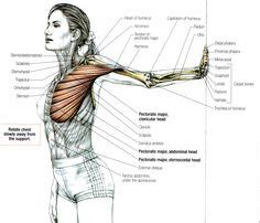 Diagram Pectorali Major by Shoulder Muscles And Chest Human Anatomy Diagram
