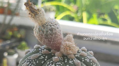 การขยายพันธุ์ แคคตัส กระบองเพชร ไม้อวบน้ำ - Mini3Garden