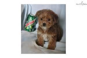 teacup non shedding dog breeds dog breeds picture