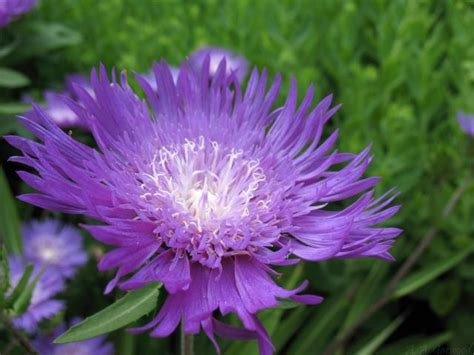 flower with big purple big purple flower with white center id ed as stokes aster aka stokesia laevis jpg 5 comments