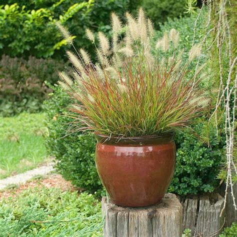 grasses for pots growing ornamental grass in containers gardenoid