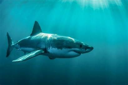 Shark Sharks Biggest Ever Footage Caught Camera