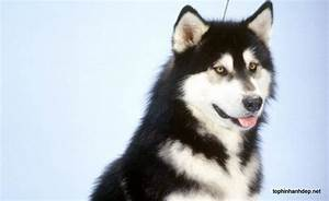 Malamutes for sale in the uk