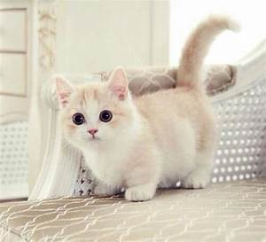Adorable Short-Legs Of Munchkin Cat – Funny Cute Dog and