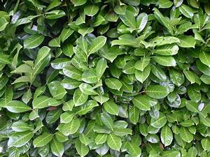 Echter Lorbeer Winterhart : kirschlorbeer lorbeerkirsche 39 rotundifolia 39 prunus ~ Michelbontemps.com Haus und Dekorationen