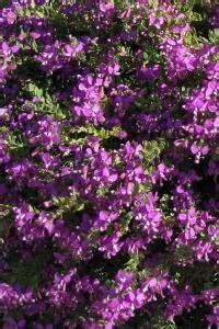piante da cespuglio fiorite cespuglio con fiori fucsia con giardini e 183 pianta