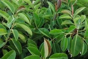 Gummibaum Verliert Blätter : gummibaum verliert untere bl tter woran liegt 39 s ~ Lizthompson.info Haus und Dekorationen