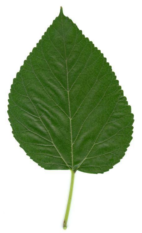 maulbeerbaum heilpflanzen heilkraeuter