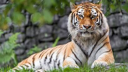 Tiger Zoo 4k Wallpapers Ultra 1440 Resolutions