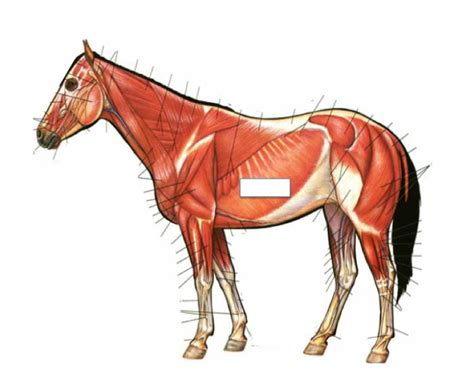 horse muscular system purposegames background