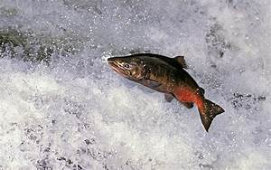 Gallery Salmon Fish In Water