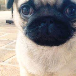 Pin by Hye Min on Animal | Cute pugs, Pugs funny, Pugs