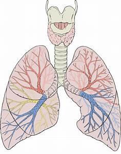 Bilateral Diagram Of The Lungs