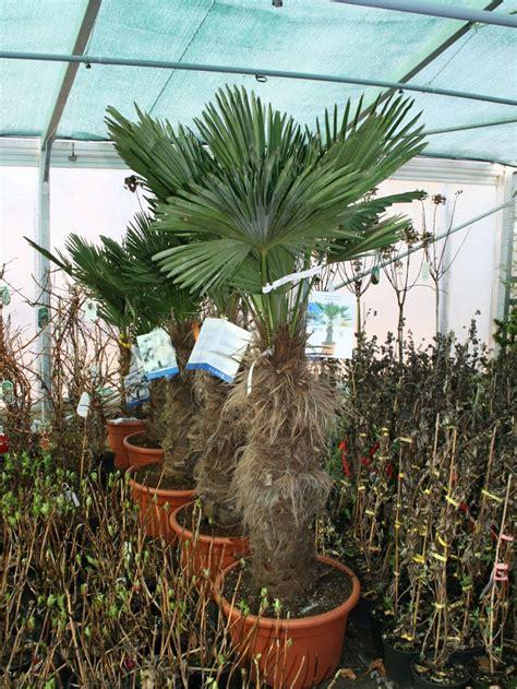 winterharte palmen bis 25 grad winterharte palme wagners hanf palme trachycarpus wagnerianus baumschule horstmann