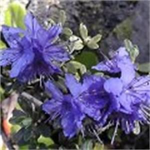 Rhododendron Blaue Mauritius : blaue k belpflanzen 37 seiten arten ~ Lizthompson.info Haus und Dekorationen