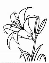 Coloring Lily Tiger Flower Printable Popular sketch template