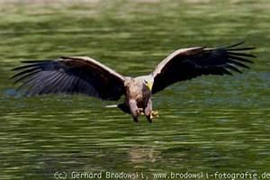 Bilder Mit Fischen : seeadler beim fischen beobachtungen und bilder ~ Frokenaadalensverden.com Haus und Dekorationen
