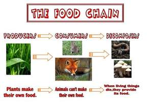 Food Chain Producers Consumers Decomposers